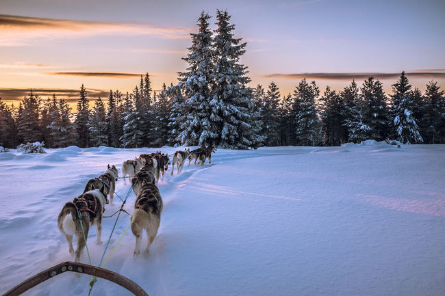 Showcase: January Mush Dog Eyem Nature Lovers  Snow Snow ❄ Cold Temperature Dogs Dog Sledding Clouds And Sky Winter Wonderland Winterwonderland Wintertime Husky Sunset Musher Dog Sled Mush Camp Sled Dog Cold Winter ❄⛄ Adventure Sledge Dog Winter Sleddog Dog Eyemnaturelover