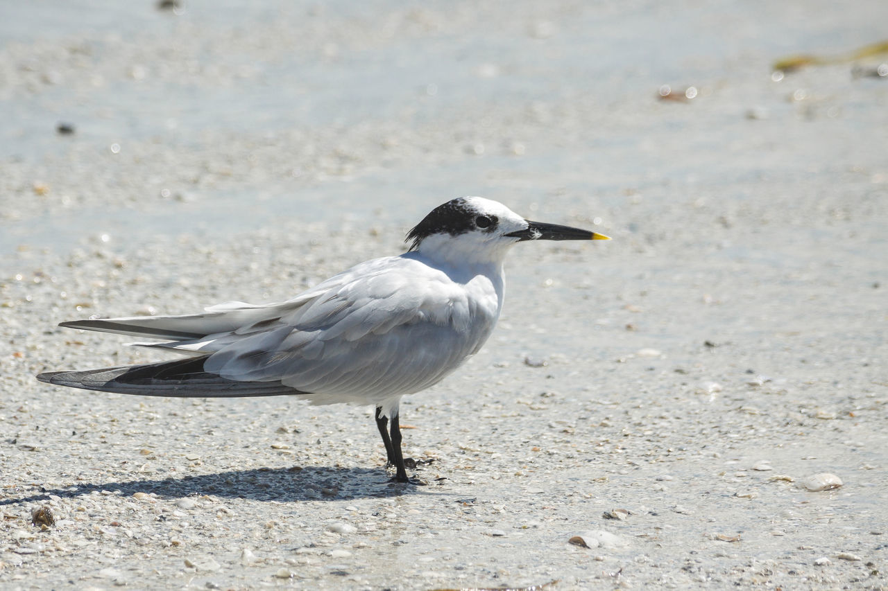 Animal Themes Animal Wildlife Animals In The Wild Beach Bird Bird Photography Beauty In Nature Close-up Day Florida Nature No People Outdoors Shorebird
