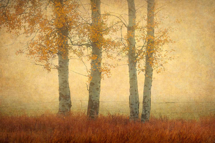 Autumnal colors on a stand of Aspen trees located in the historic Methow Valley. Artistic Artistic Photo Artistic Photography Aspens Autumn Autumn Leaves Autumn🍁🍁🍁 Barbed Wire Colorful Eastern Washington Fall Colors Forest Mazama Methow Valley Outdoors Pacific Northwest  Textured  Tranquility Tree Tree Trunk Valley Warm Colors Washington Winthrop, WA Wood