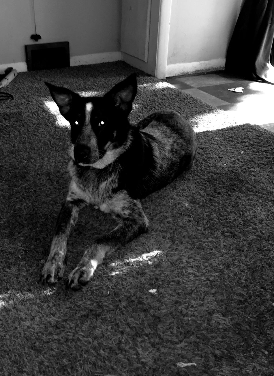 Portrait Pets One Animal Dog Leeloo Light And Shadow Black And White Monochrome Shades Of Grey Lady