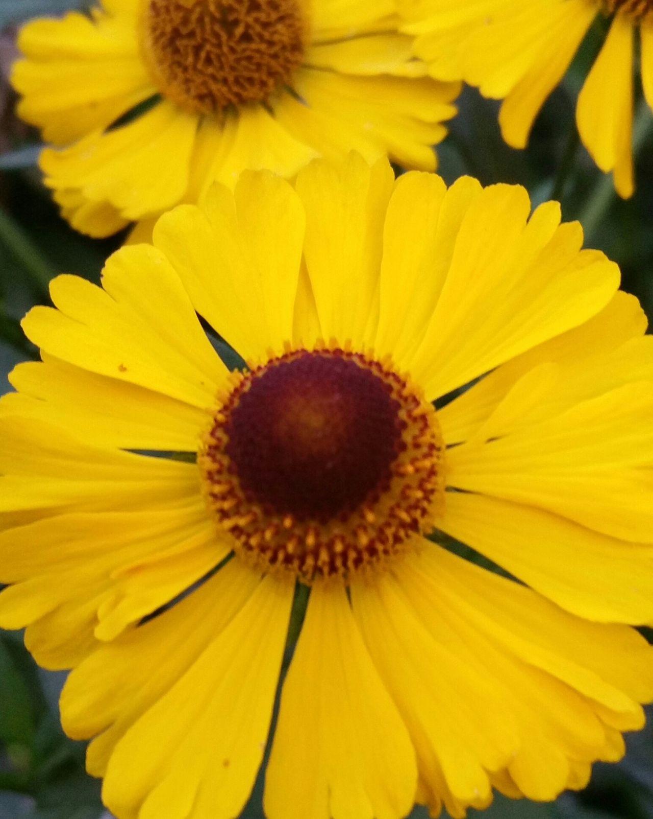 Sonnenhut Blumen Flowers Yellow Yellow Flowers Summertime InTheGarden Inmygarden Walking Around