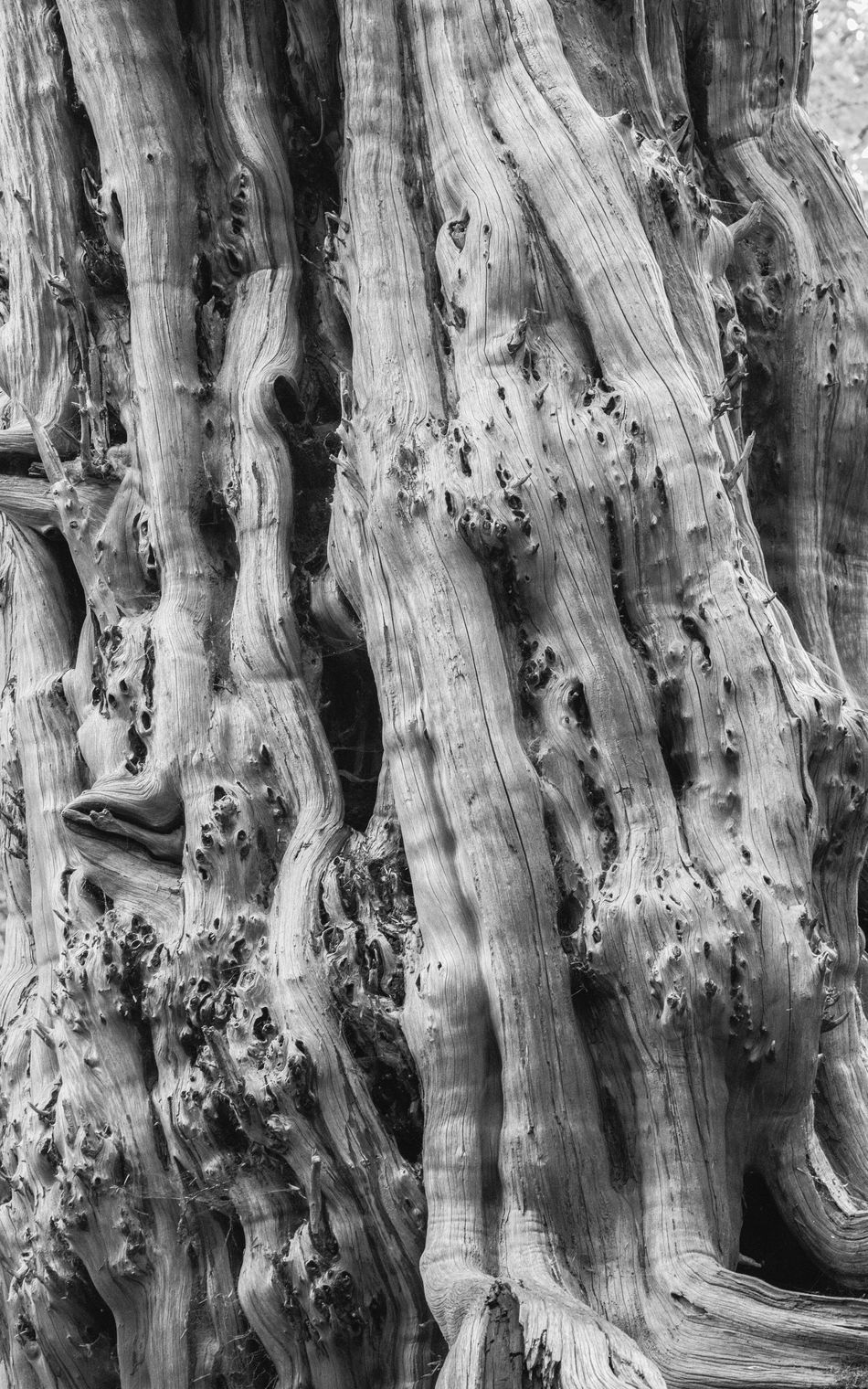 Tree branches at Studley Royal, Yorkshire Bark Bark Blackandwhite Branches Close-up Day England Growth Knobbly Knotted Wood Monochrome Nature No People Physical Geography Rough Studley Royal Texture Textured  Tree Tree Tree Trunk Trunk Uk Wood Yorkshire