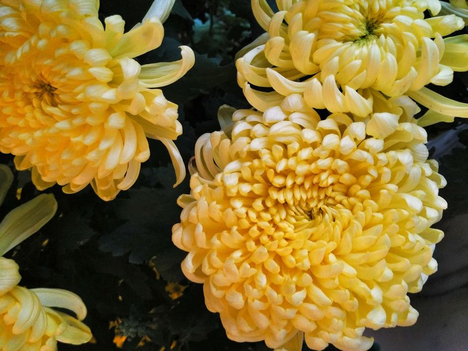 Close-up Chinese Plant Freshness Beauty In Nature Nature Growth Fragility Yellow Flower Purity Plants Plant Life Yellow Potted Plant Potted