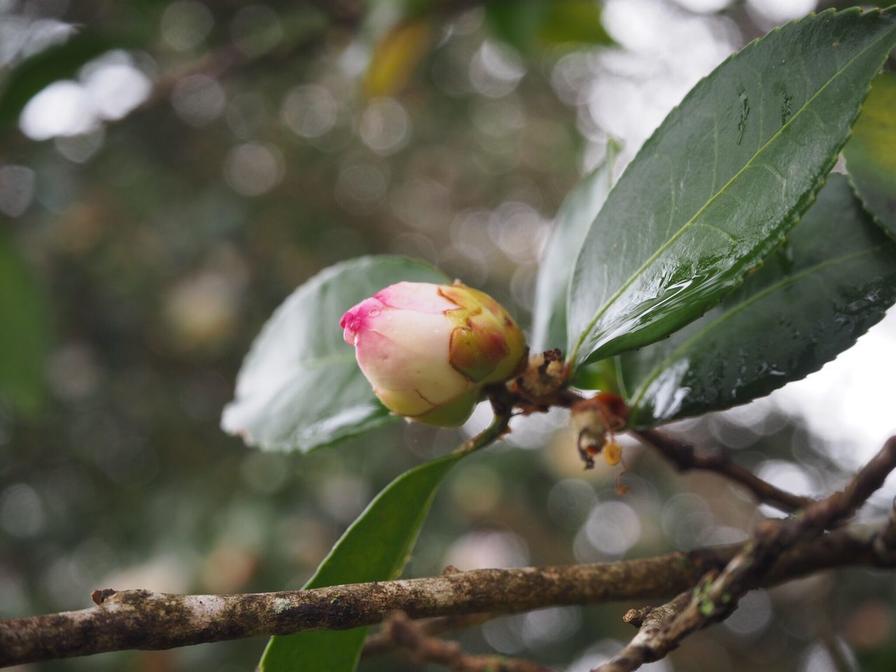 Budding camellias Flower Nature Beauty In Nature Close-up Growth No People Freshness Fragility Plant Focus On Foreground Green Color Petal Leaf Flower Head Camellia Freshness Bud