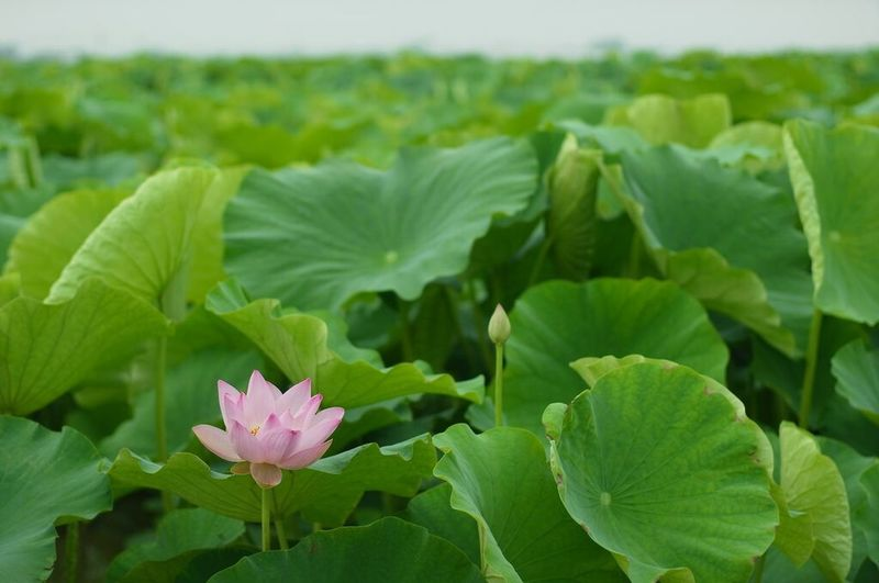 Green Flowers Landscape 徳島県 レンコン畑