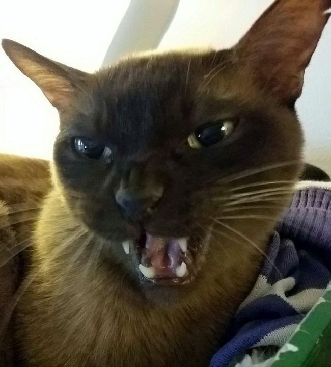 Talking cat... min andra Burma Teo som mjauar... :-) Talking Cat Talking Cat Burmacat