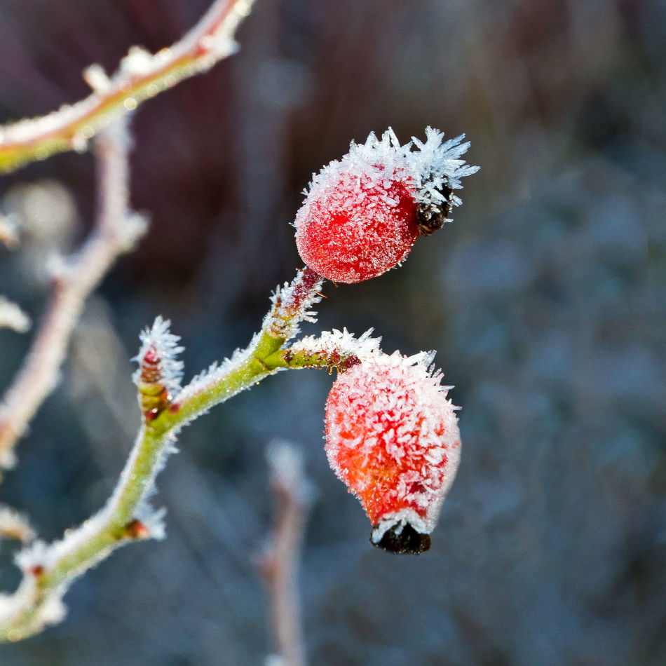 Rosehips in winter Autumn Beautiful Beauty Beauty In Nature Branch Colors Crystals December Fall Flower Frost Fruit Fruits Ice Ice Crystals Nature No People Outdoors Plant Red Rosehips Season  Snow Weather Winter