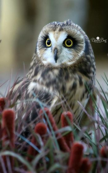 This is a short-eared owl.. Short-eared Owls have a large and round head with very small tufts arising from the center of the forehead, generally not seen. Owl