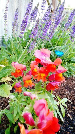 I love these brilliant colors! In My Garden Beautiful Nature Flowerporn Flowers,Plants & Garden Snapdragons EyeEm Flower Red Flowers Purple Flower Brilliant Colour