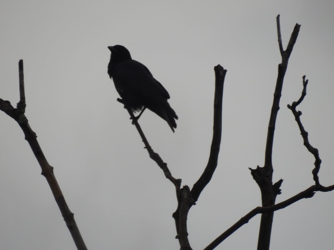 Crow on a branch silhouette. Bird Animal Wildlife Animals In The Wild Perching One Animal Animal No People Silhouette Beauty In Nature Animal Themes Living Organism Outdoors Nature Branch Day Crow Silhouette Silhouette Photography Crows Crow Gray Skies Graysky Sky Silhouettes Silhouette Spooky Atmosphere
