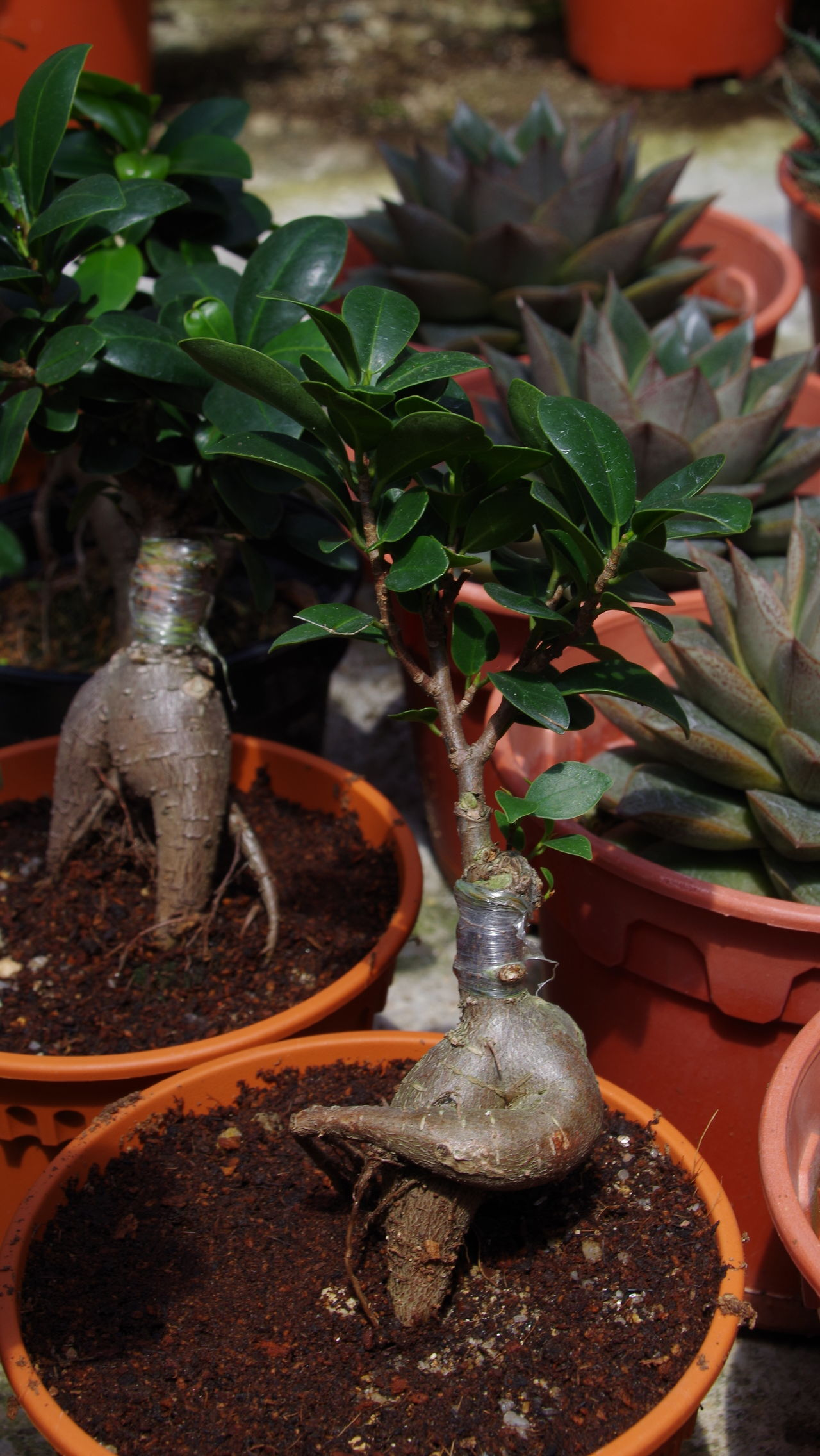 Bonzai Botany Ginseng Green Color Greenery Nature Pentax Potted Plant