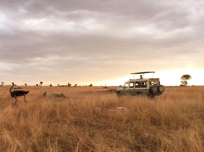 Color Palette Ostrich Golden Hour Transportation Safari Safari Animals Non-urban Scene Magic Hour