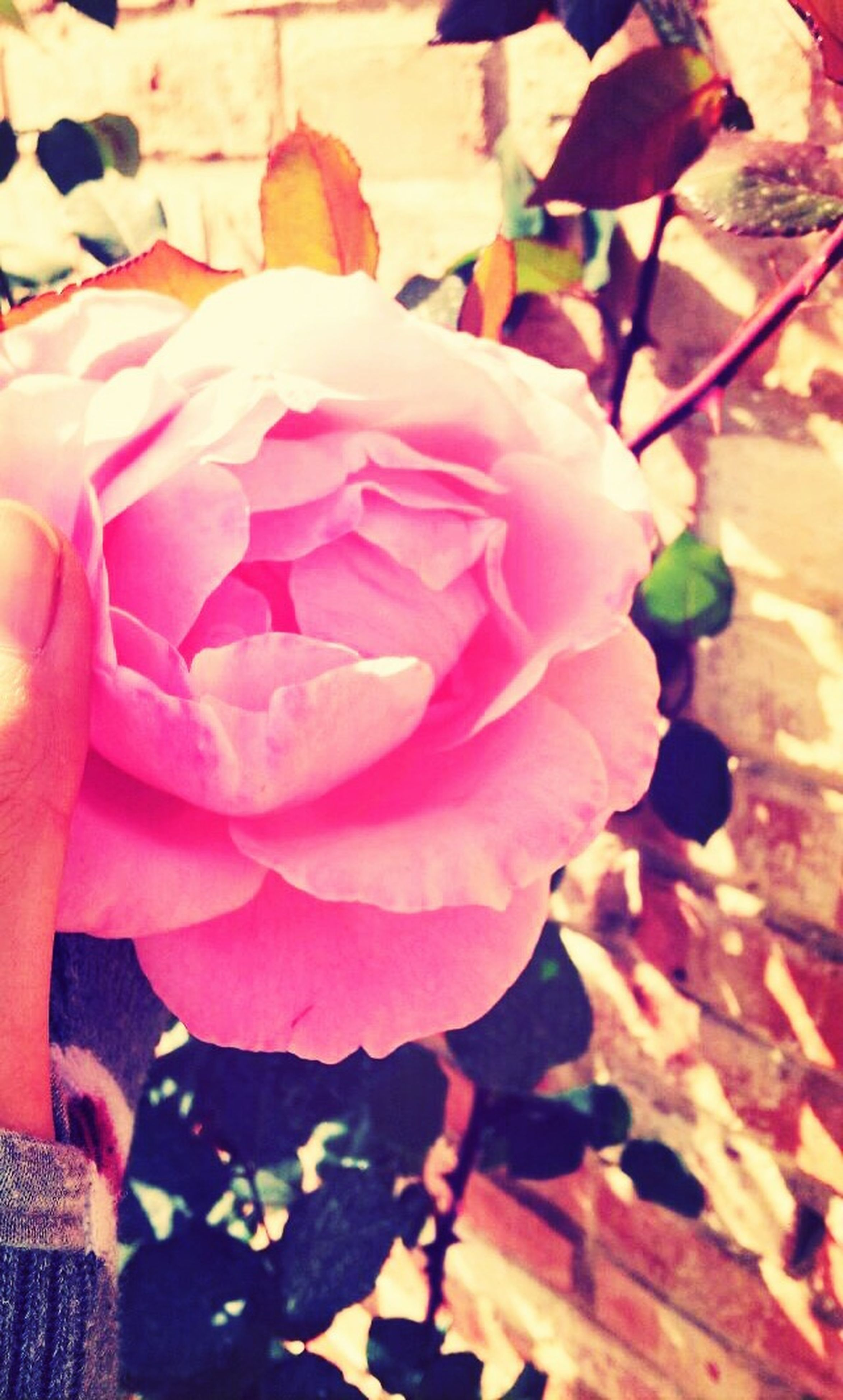 flower, pink color, petal, fragility, freshness, close-up, flower head, leaf, beauty in nature, nature, rose - flower, pink, growth, high angle view, outdoors, plant, day, focus on foreground, blooming, single flower