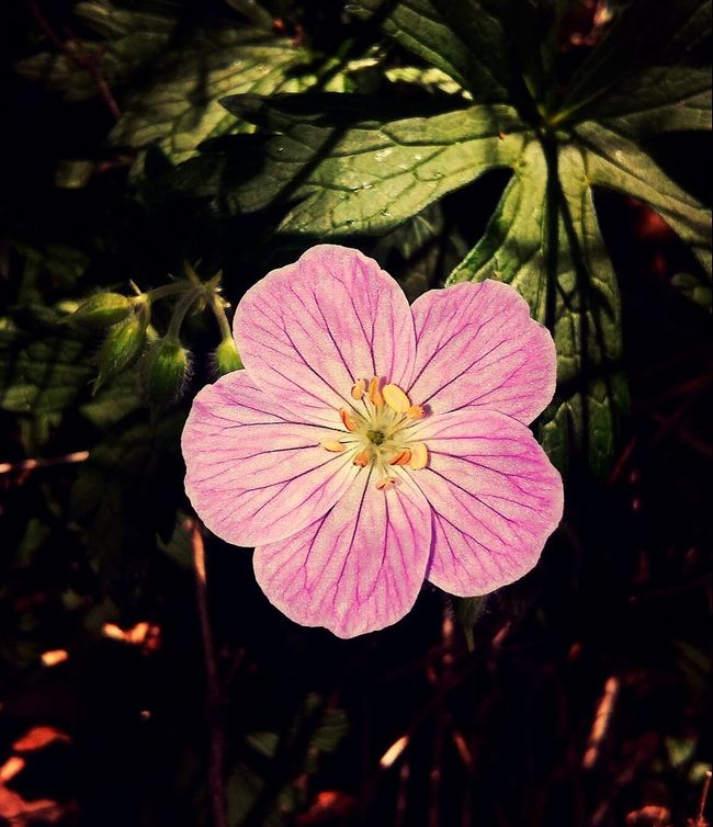 A day of fishing also results in a day with flowers!! Flower Plant Flower Head Growth Fragility Nature Beauty In Nature Pink Color Petal Day Outdoors No People Freshness Close-up Blossom Flower Collection At The Lake Picturejunkie Taking Photos Pretty♡ Check This Out Plant Leaf The Great Outdoors - 2017 EyeEm Awards