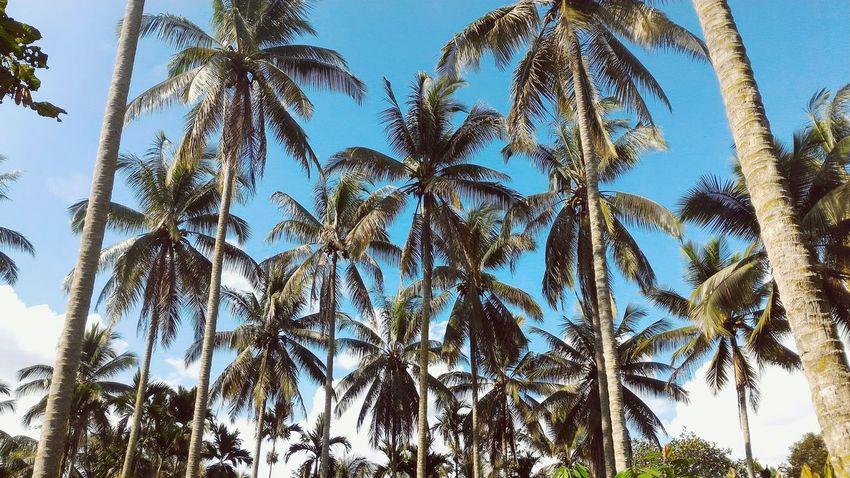 Beatiful coconut tree First Eyeem Photo Photography Village Photography Photographer Indonesian Indonesia_photography Indonesian