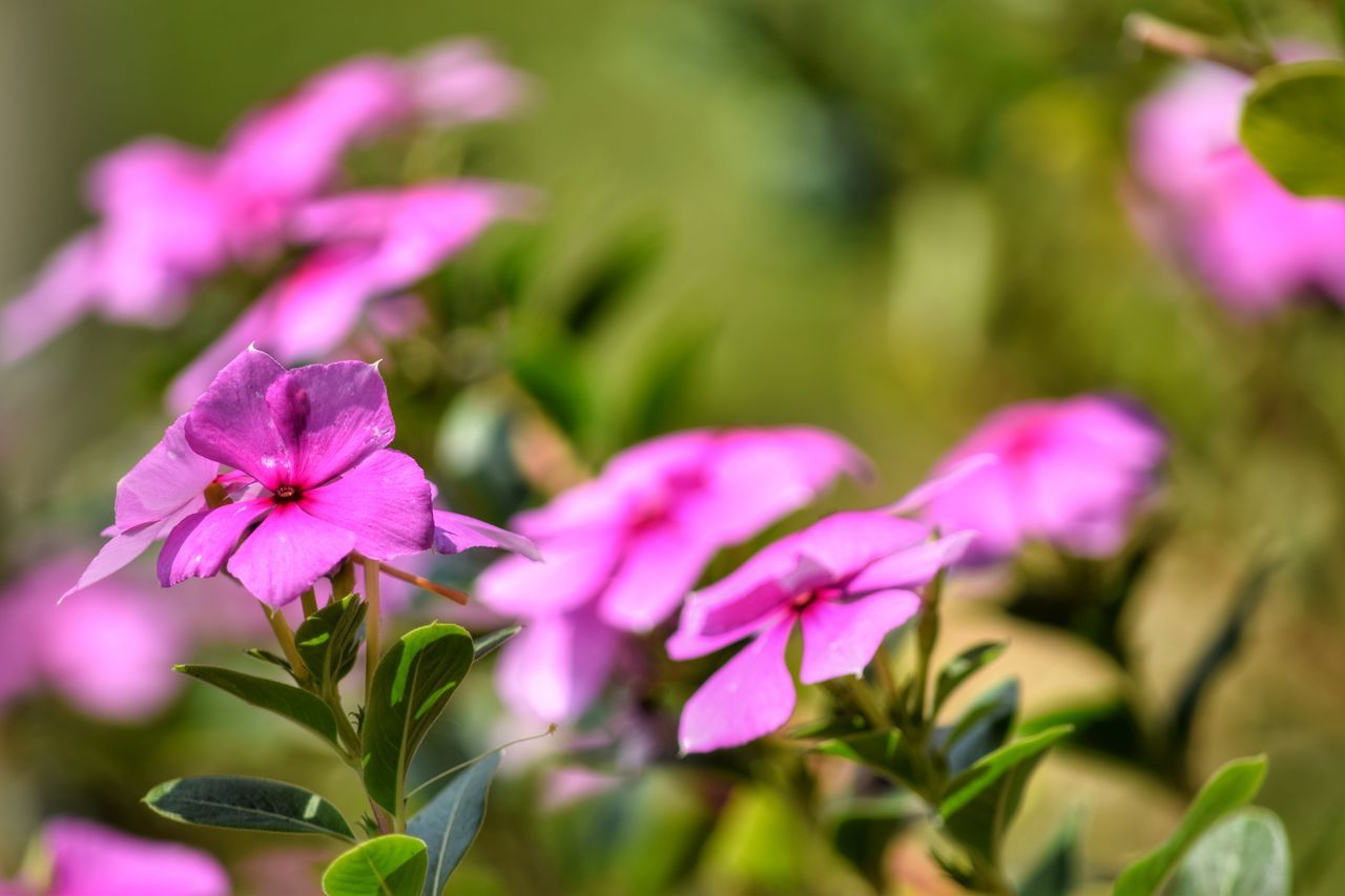 Flower Pink Color Plant Fragility Purple Nature Petal Flower Head Close-up Beauty In Nature No People Leaf Growth Day Outdoors Freshness Springtime Defocused