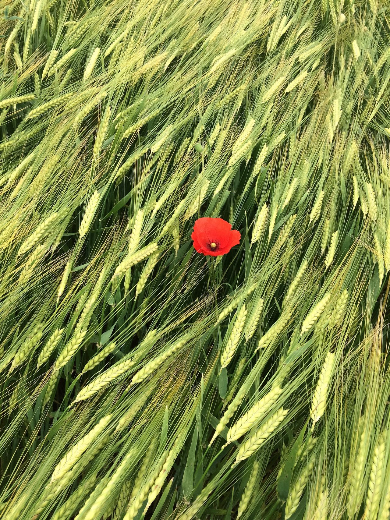 Into the fLux Relaxing Poppies  Wheat Green Field Red Flowers Agriculture Found On The Roll