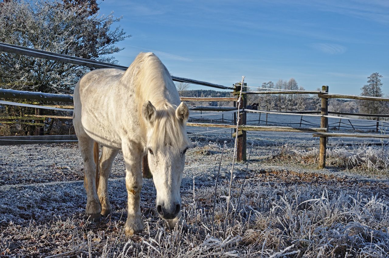 Domestic Animals Fence Animal Themes Ranch Horse Herbivorous Nature Day Sunlight No People Paddock Standing One Animal Outdoors Grass Sky Beauty In Nature Ice Rime White Frost Sunny Sunny Day Cold Sunny Day Animals EyeEmNewHere EyeEmNewHere