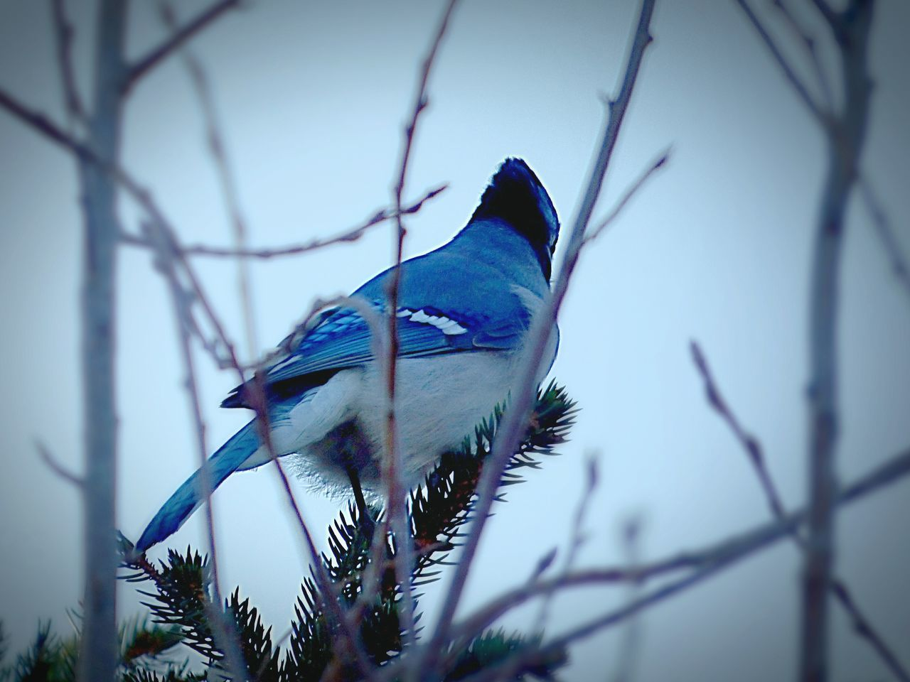 bird, one animal, animals in the wild, animal themes, perching, animal wildlife, bare tree, branch, nature, no people, day, beauty in nature, low angle view, blue, close-up, tree, outdoors, sky