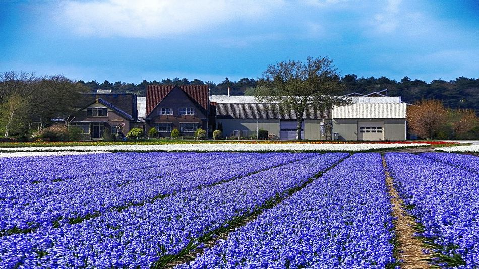 Efflorescence Hyacinth Dutch Countyside Dutch Landscape Lines And Shapes Eye4photography  Nature_collection EyeEm Nature Lover Landscape_Collection Springtime Flowerbed Agriculture