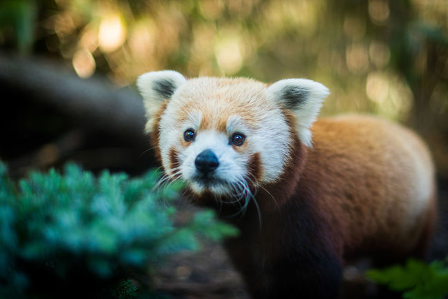 Bruce the Red Panda, a new arrival at Edinburgh Zoo, Scotland (Sep 2016) Animal Animal Head  Bear Curious Ginger Inquisitive Mammal One Animal Panda Red Red Panda Wildlife Zoo Zoology