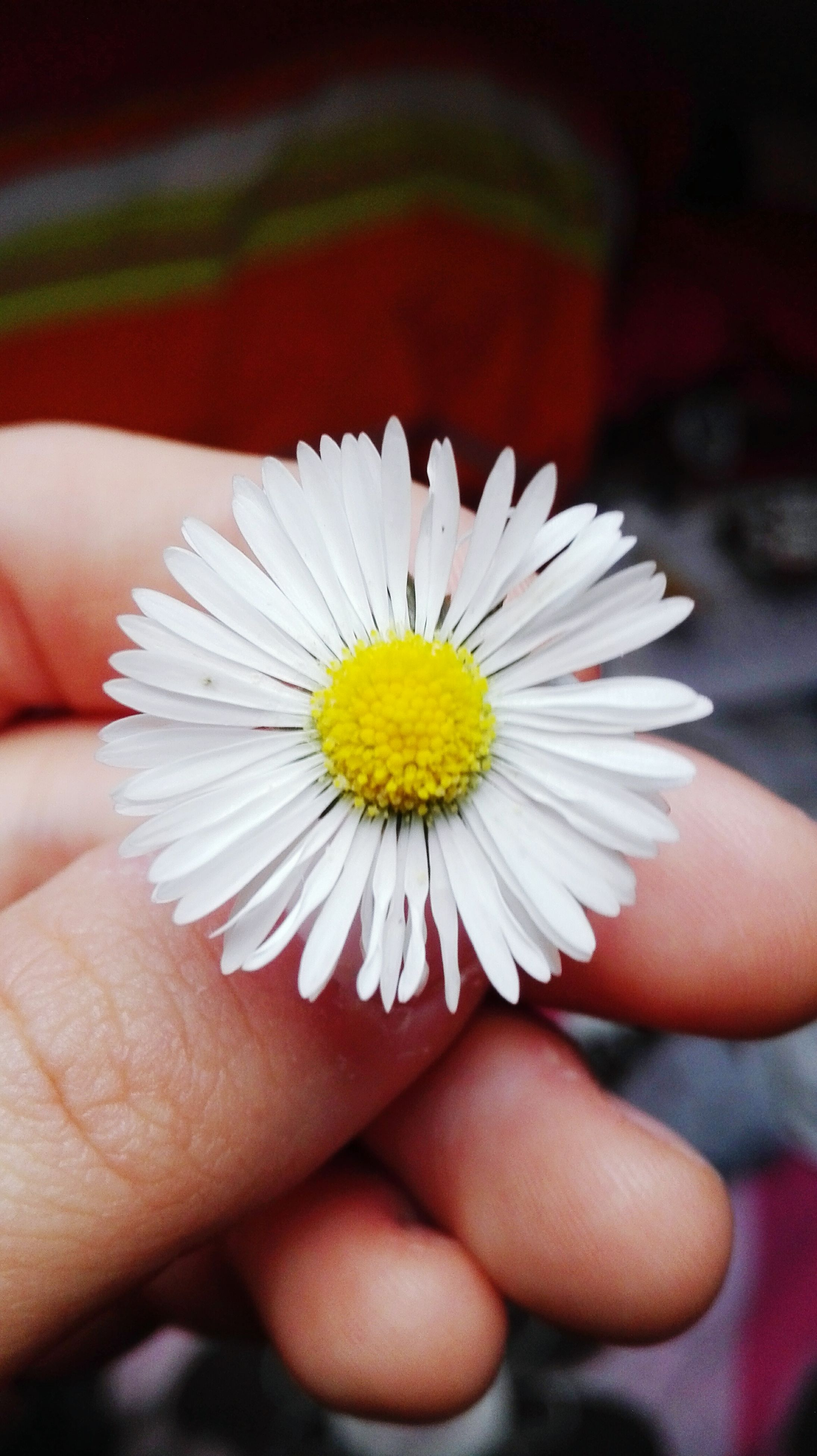 human hand, flower, close-up, freshness, one person, fragility, petal, human body part, real people, flower head, lifestyles, holding, beauty in nature, outdoors, nature, day, people