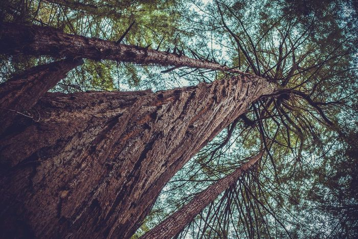 Tree Tree Trunk Nature No People Tranquility Beauty In Nature Outdoors Growth Day Low Angle View Forest Sky Knotted Wood Nature Muir San Francisco Beauty In Nature