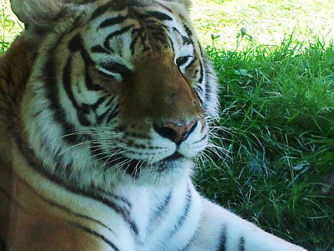 Tiger Tigereyes Tiger Love Tiger Eyes  Tiger Face Tiger In The Zoo FamilyTime Zoo Animals  ZOO-PHOTO Zoophotography Zooanimal Check This Out Hello World
