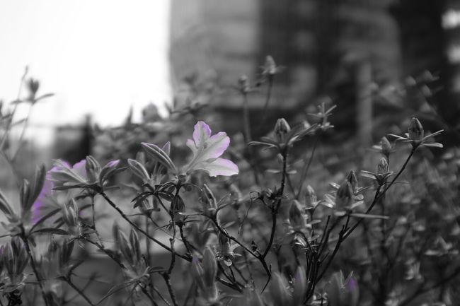 FujiX100T X100t Fujifilm Flowers Snap Mono Monochrome Monopurple Daily Landscape