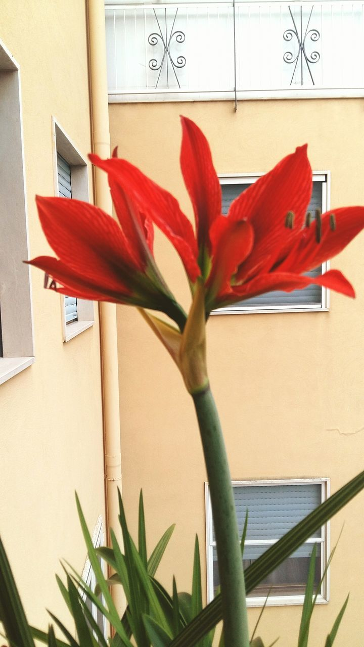 flower, growth, no people, potted plant, plant, petal, close-up, red, nature, indoors, day, freshness, architecture, fragility, flower head
