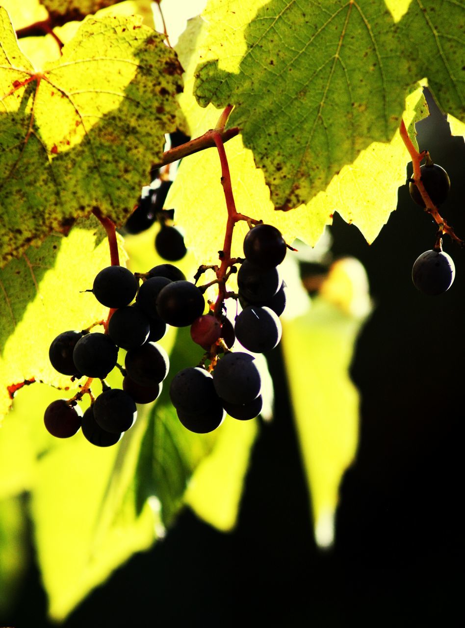 growth, leaf, grape, fruit, hanging, nature, green color, close-up, plant, no people, day, sunlight, yellow, outdoors, vine - plant, freshness, beauty in nature