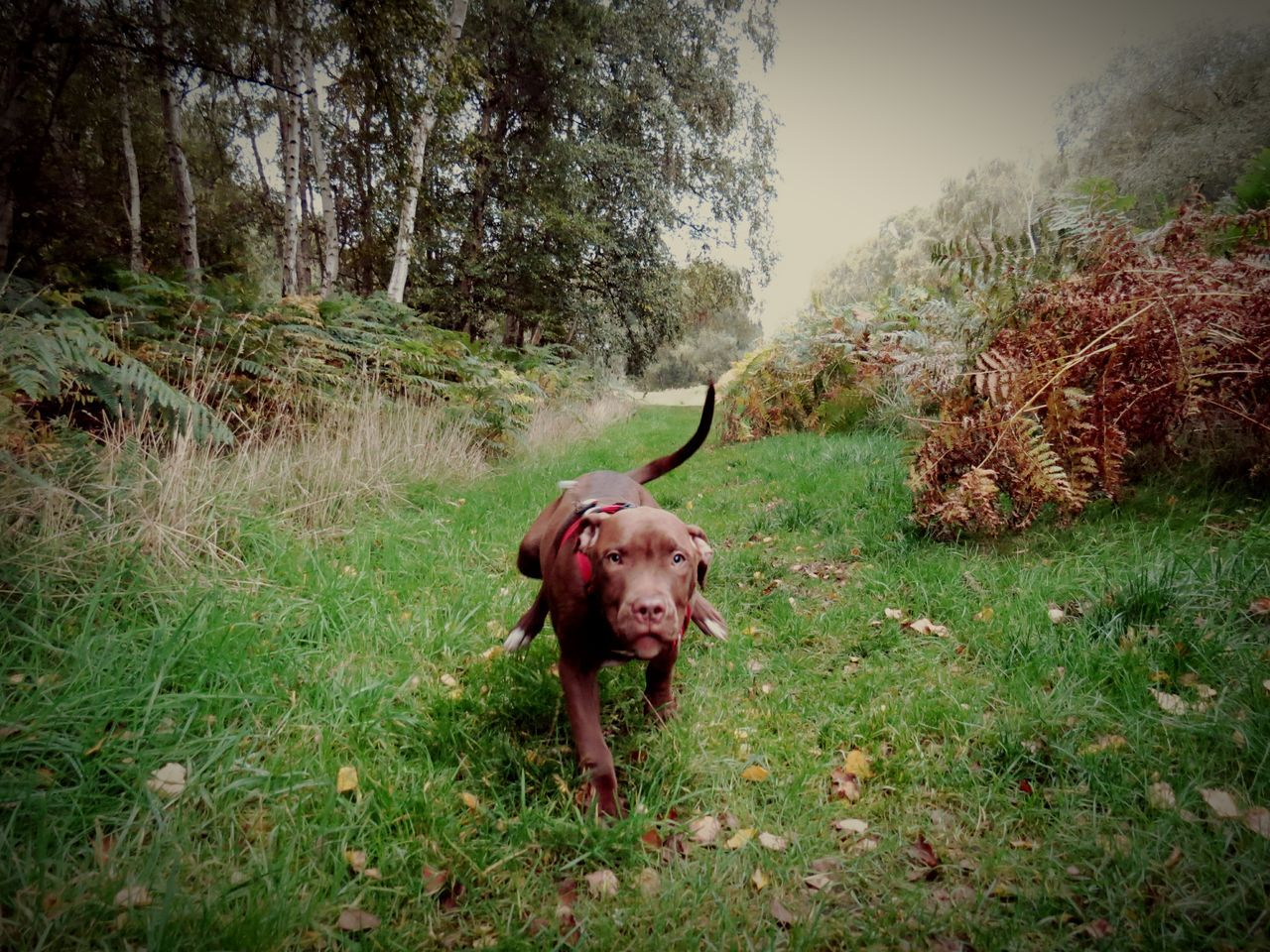 Tree Domestic Animals Animal Themes Mammal One Animal No People Nature Growth Livestock Grass Outdoors Day Forrest Staffy Stafflife Staffylovers Dog❤ Dog Love Dog Photography Dogwalk Running Dog EyeEmNewHere Live For The Story