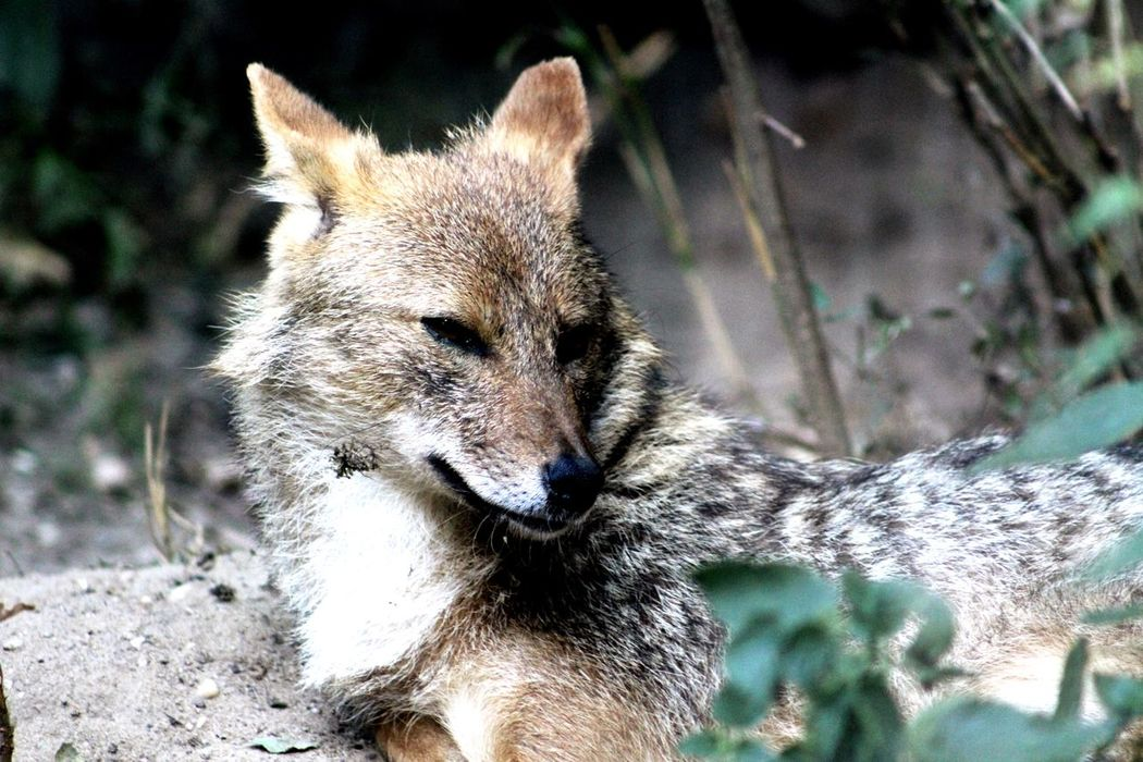 Jackal One Animal Animal Themes Close-up Mammal Focus On Foreground Field Day Animal Head  Zoology Nature Outdoors Looking Beauty In Nature No People Tranquility Animal_collection Animal Photography Animal Animals Filtered Image Beautiful Beauty In Nature Animal Head  Beautiful Nature