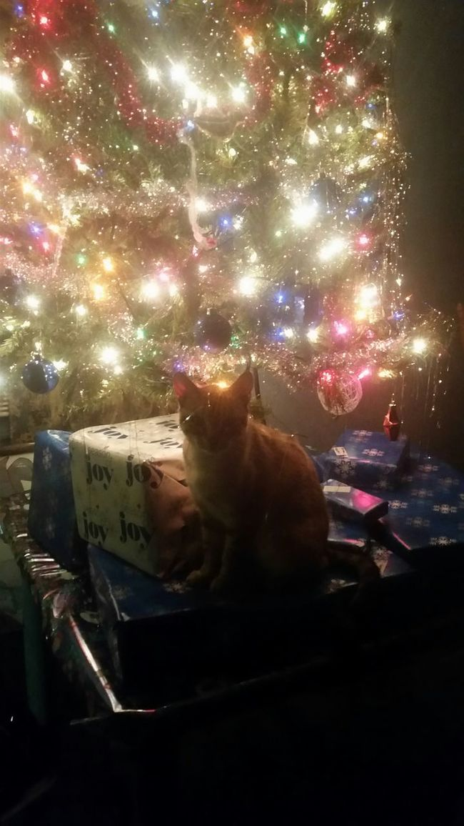 Taking Photos From My Point Of View Furbaby Furbaby Love Catlovers Christmas Fun Christmas Decorations