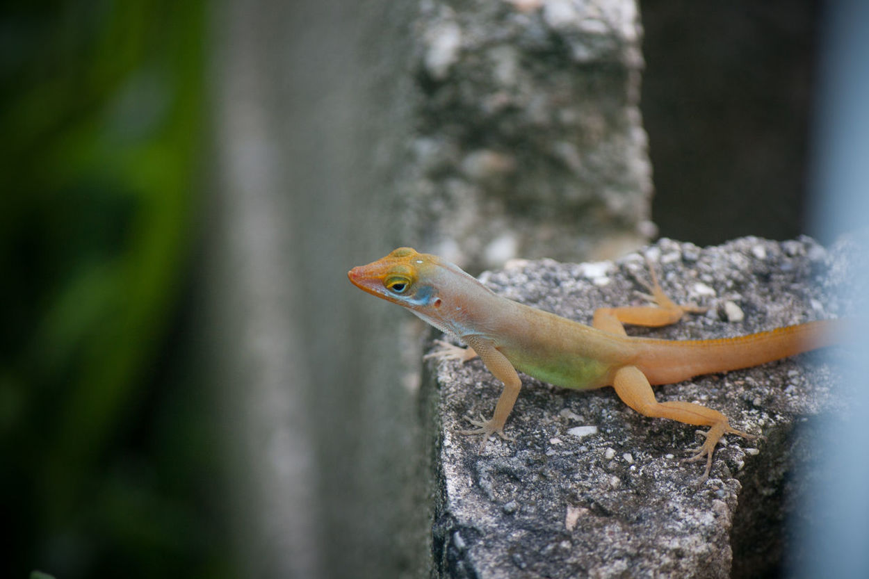 Fujivelvia Lizard Watching Lizard Nature Photography