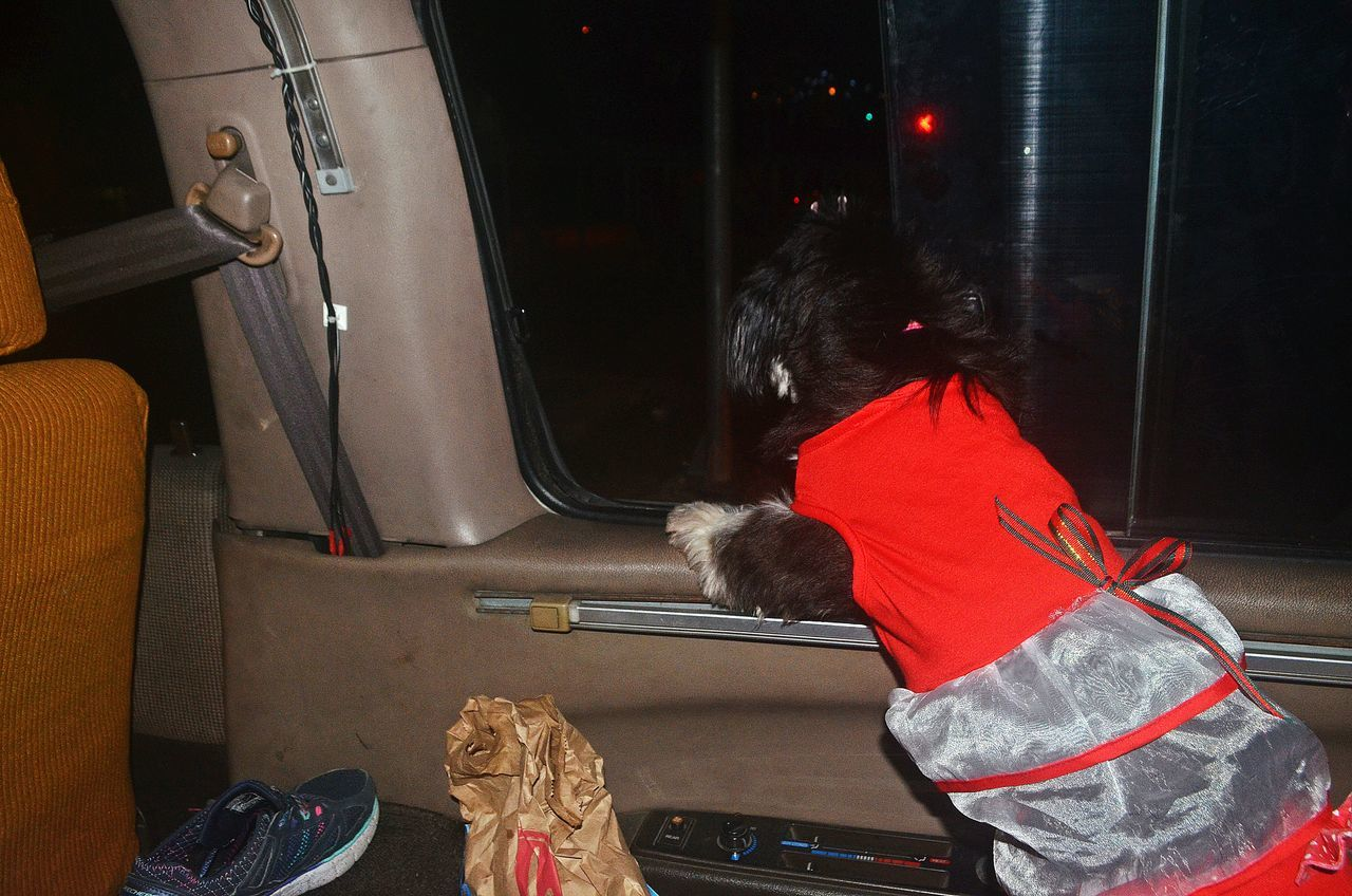 Traveling Home For The Holidays Schweenie Crossbreed Dog On The Way Christmas Day On The Way Home Mode Of Transport Night Road Red