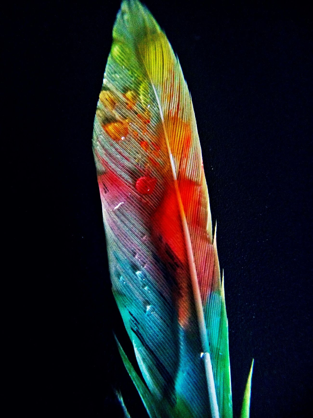 Black Background Close-up No People Multi Colored Feder Feather  Feather_perfection Feathers Of A Bird Vogelfeder Vogelfeger Nach Dem Regen Bund Angemalt Painted Colorful Rainbow Waterdrop Waterdrops Macro Macrophotography Makrofotografie Makro Beautiful