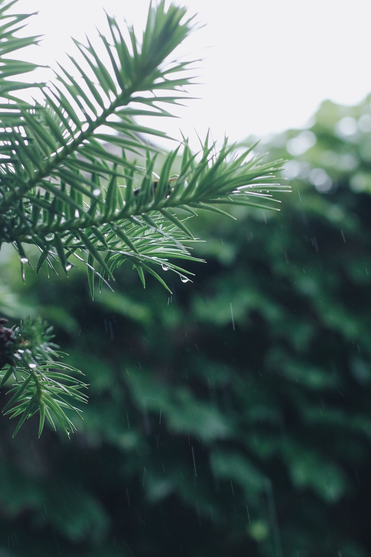 Rain Rainy Days Raindrops Nature Growth Close-up Focus On Foreground No People Leaf Day Green Color Beauty In Nature Plant Outdoors Freshness Tree Water Leaves_collection EyeEmNewHere From My Point Of View Pine Tree Pine Leaves Freshness Green
