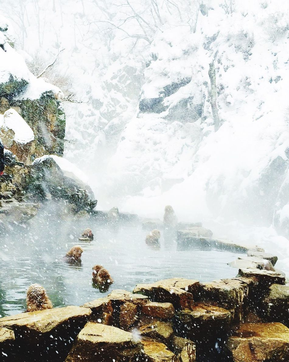 Bathing Ape Snow Monkey Onsen Snow Japan