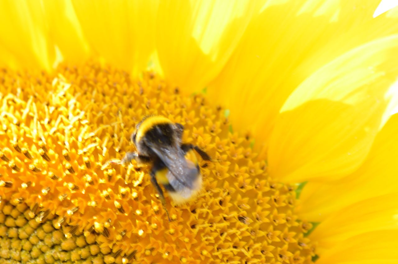 flower, animal themes, insect, animals in the wild, yellow, petal, beauty in nature, one animal, nature, bee, fragility, freshness, animal wildlife, honey bee, wildlife, growth, no people, pollen, flower head, day, outdoors, close-up, pollination, sunflower, plant, bumblebee, blooming, buzzing