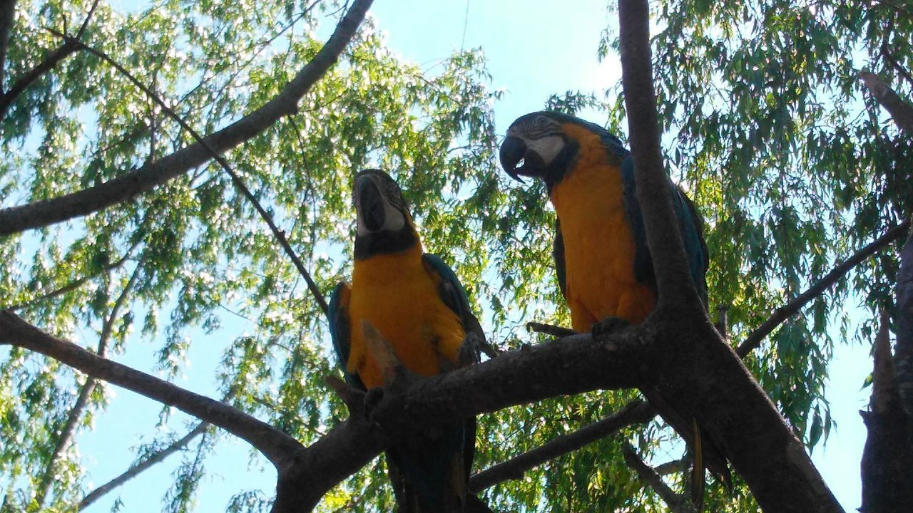 Animal Themes Animal Wildlife Animals In The Wild Beauty In Nature Bird Branch Cordilheira Dos Andes Day Forest Gold And Blue Macaw Igreja Igrejacatolica Igrejas Igrejaspelomundo Low Angle View Macaw Nature No People Outdoors Parrot Perching Sky Tree Tree Trunk Two Animals