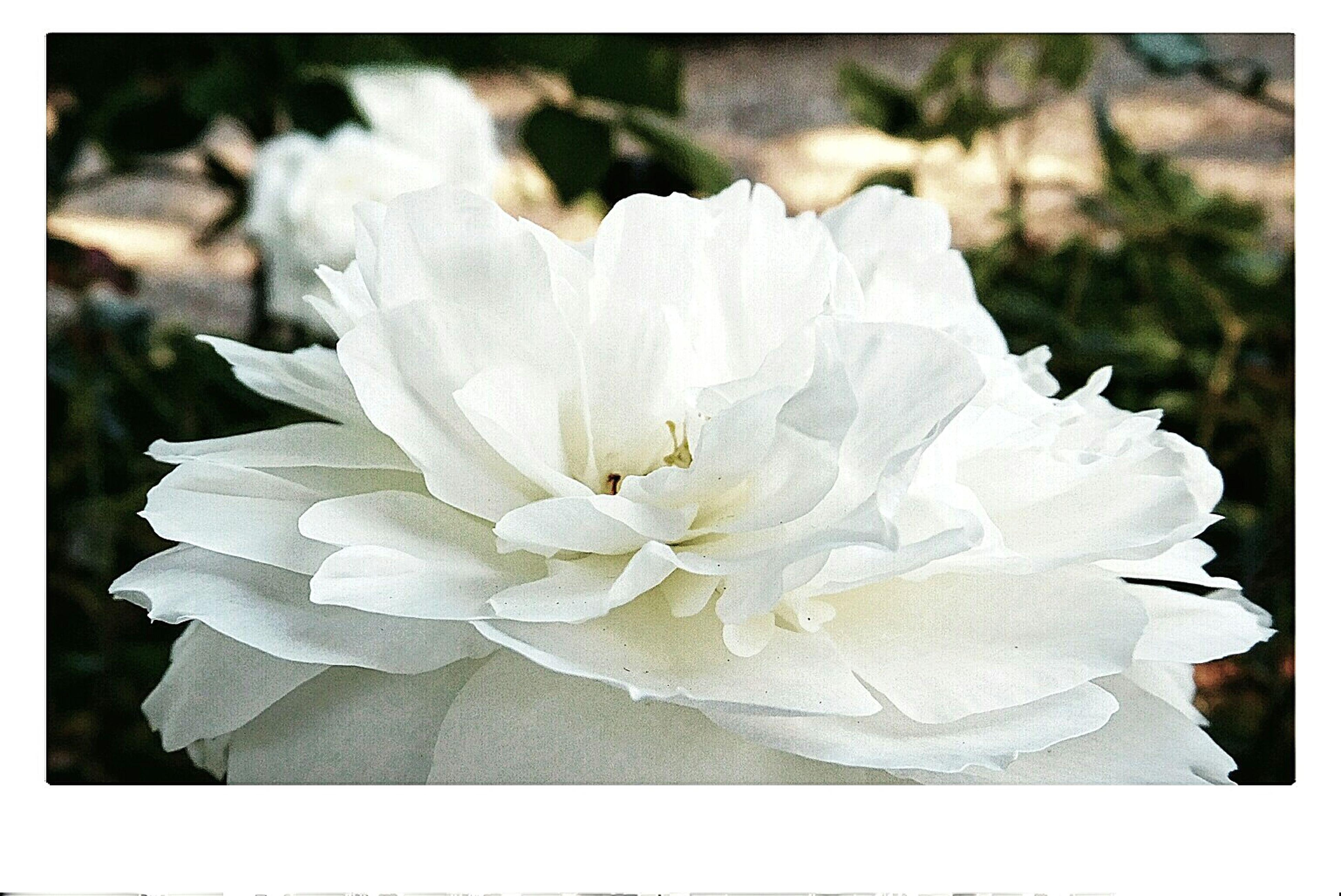 Rosé Susan Williams-ellis Fragility Flower Beauty In Nature Senteur Parc De Bagatelle Paris ♥