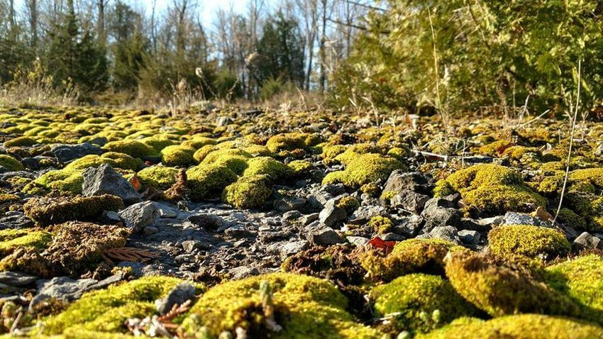 Close upnof moss growing at the Fisk Quarry in Vermont. Nature Growth Green Color Outdoors Day No People Tranquility Plant Moss Beauty In Nature Sunlight Forest Tree Grass Sky Freshness Close-up