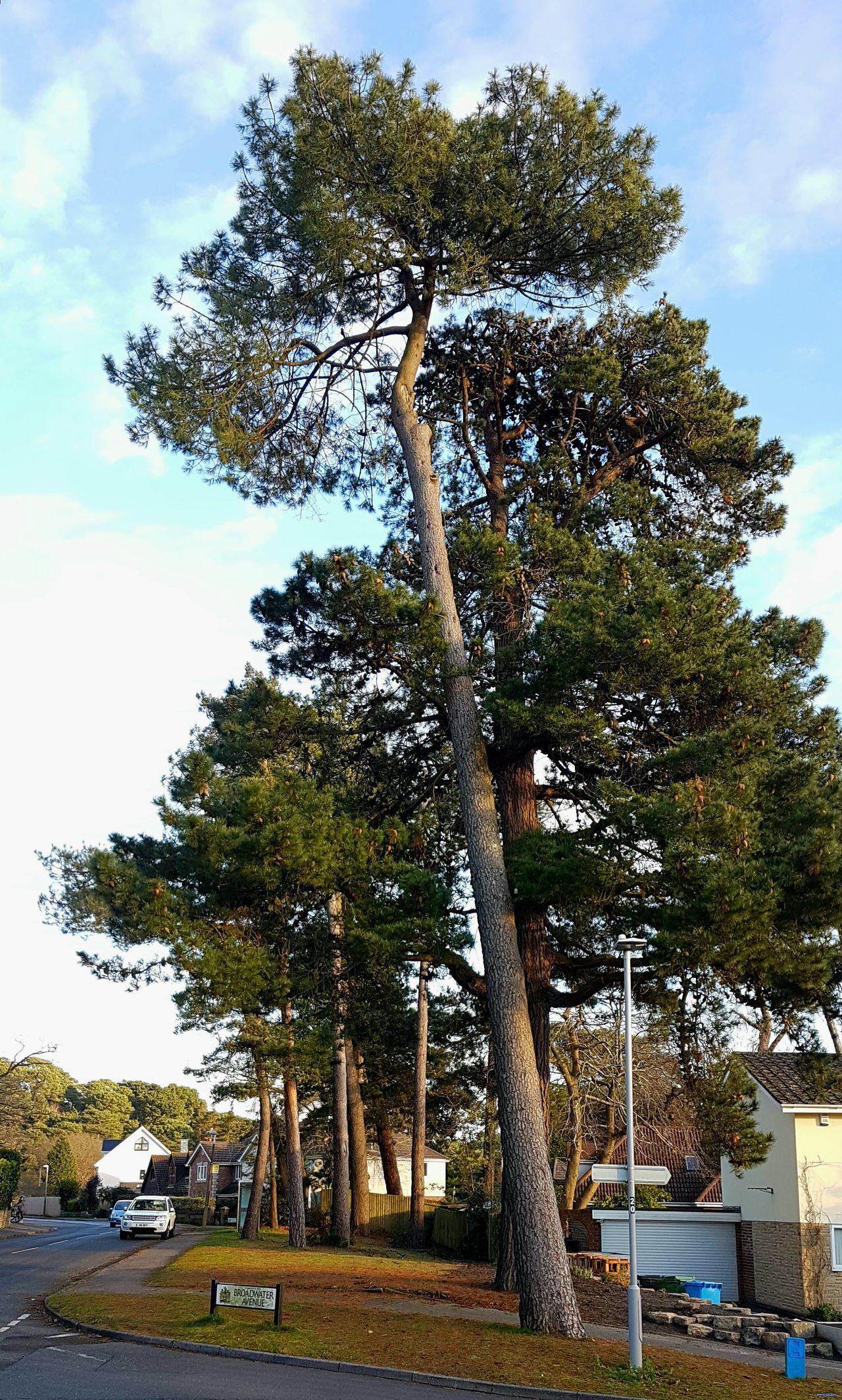 Street Trees Scots Pine Tree Pinus Sylvestris Residential Street Poole, Dorset England Conifers Quiet Street Tranquil Street Scene Trees Dwarf Homes Tall Slim Trees