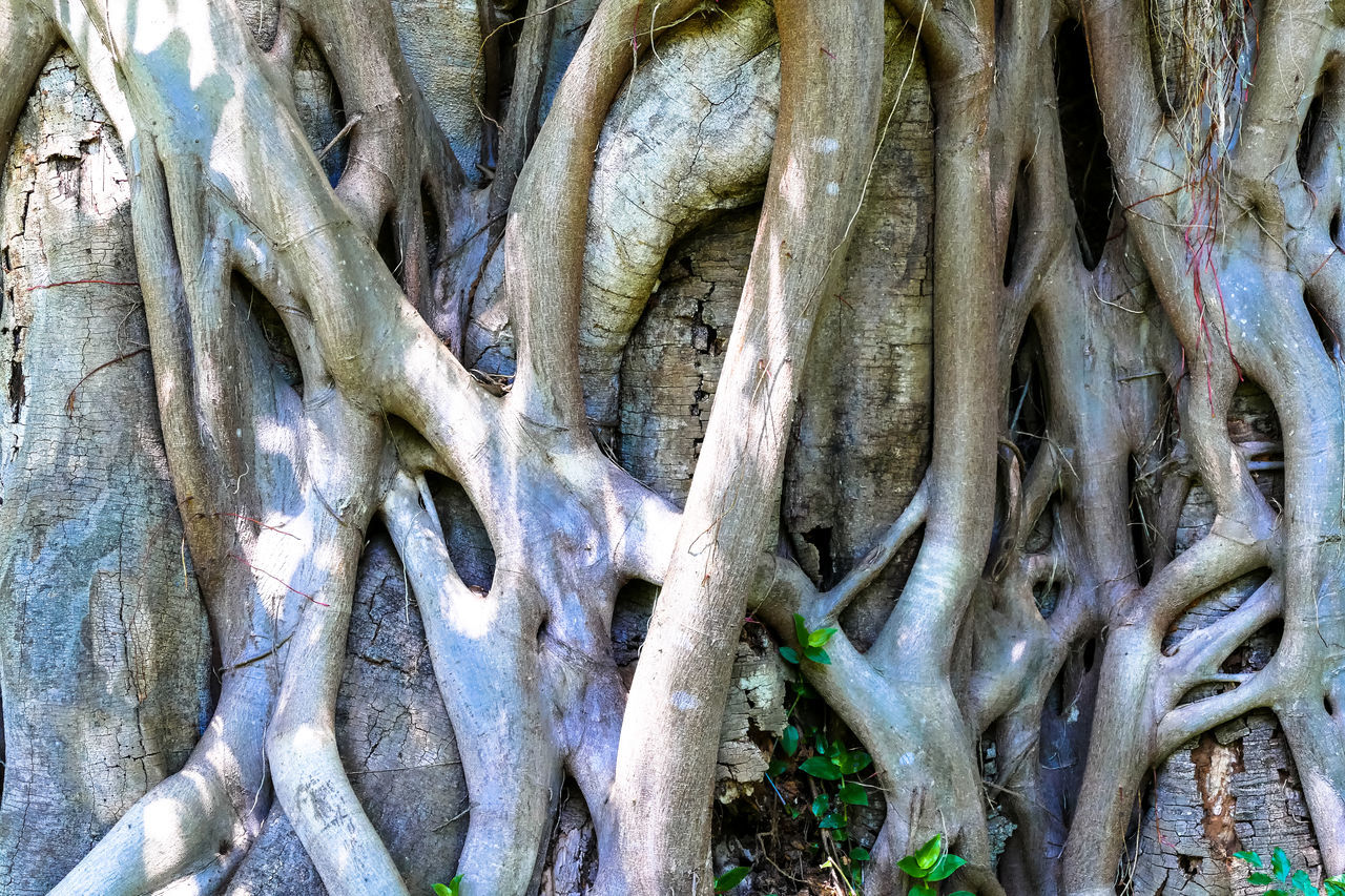 Backgrounds Beauty In Nature Close-up Day Freshness Nature No People Outdoors Strangler Fig Strangler Fig Tree