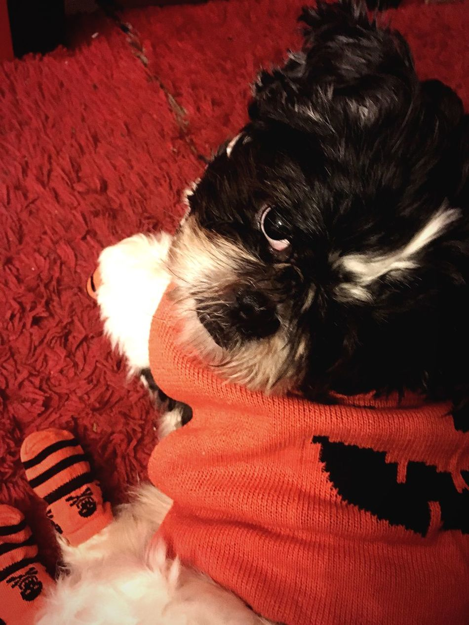Pets Domestic Animals One Animal Animal Themes Mammal Red Lying Down Relaxation Dog Indoors  One Person Pet Clothing Close-up Fall Focus Object Dogs Shih Tzu Halloween Photography Puppy Baby