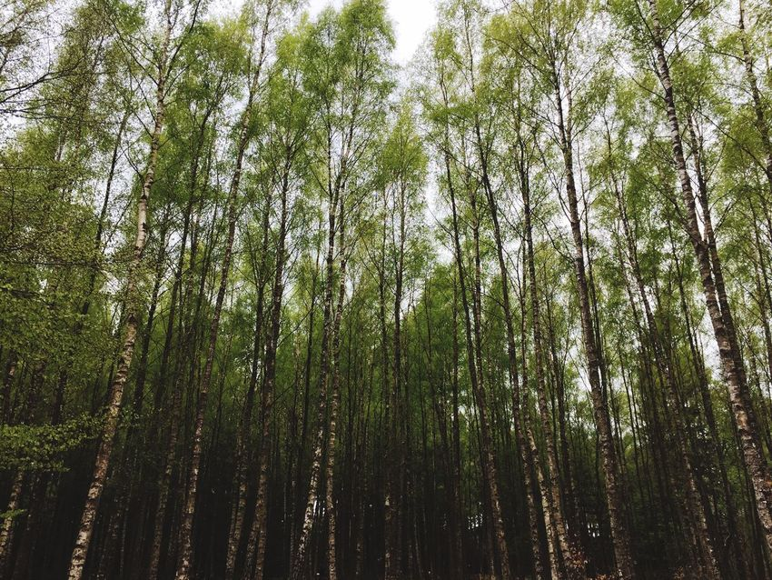 Tree Nature Forest Growth Low Angle View Tranquility Beauty In Nature Outdoors Bamboo - Plant No People Day Tree Trunk Bamboo Grove Tranquil Scene Scenics Sky The Great Outdoors - 2017 EyeEm Awards
