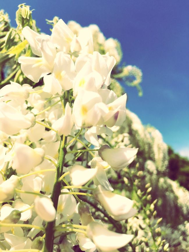 White White Flower Sky Blue Springtime