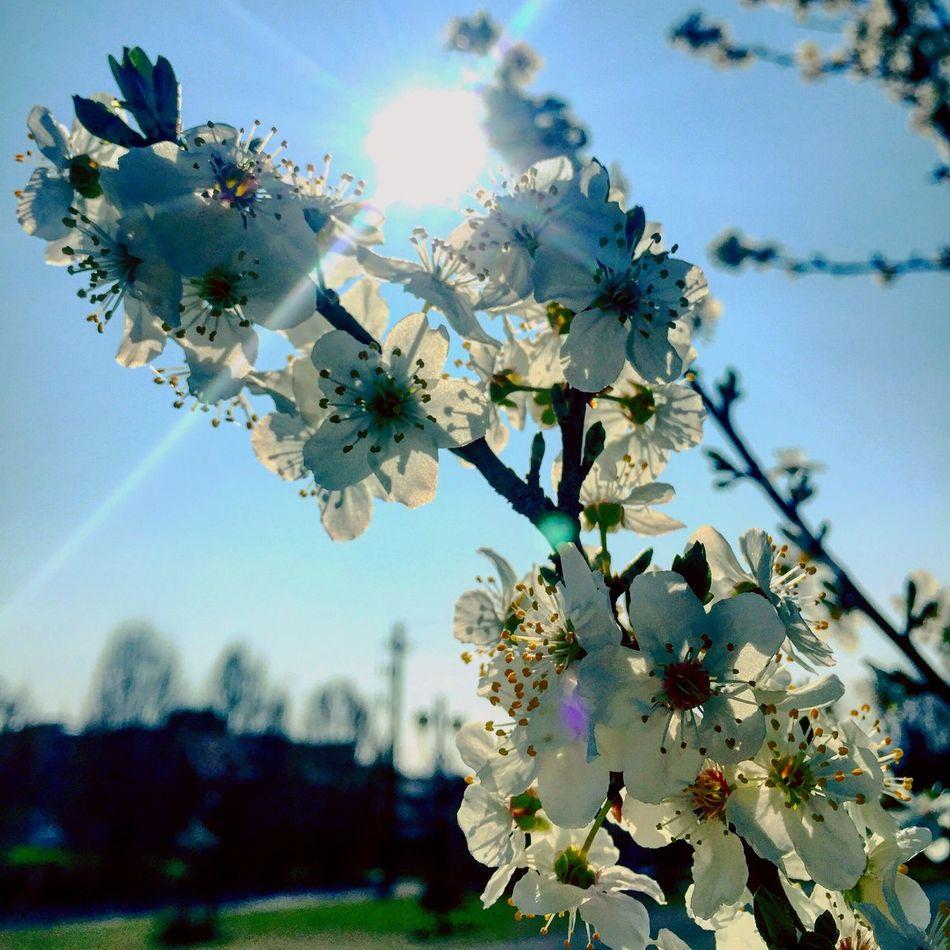 #nature #naturelover #natureshots #natureaddict #naturelovers #nature_perfection #naturephotography #nature_shooters #natureza #flower #flowers #flowerlover #flowermagic #flowers_shotz #flowersofinstagram #flowerstagram #flowerslovers #flowerporn #floweroftheday Sun Sunlight Suneffects Sunny Day #iphone6plus #iphoneography #iphone #menmyiphone #iphoneonly