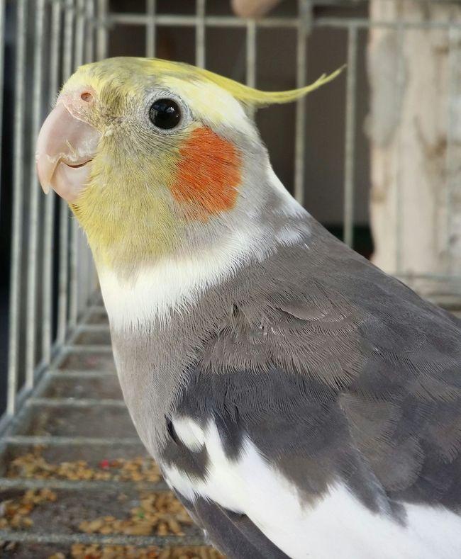 CalopsitaAnimal Themes Bird One Animal Zoology Nature Vibrant Color Beautiful Good Morning World! MyMoments Photography Photobirds